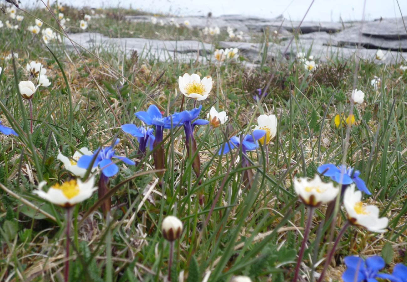 Burren Flowers close to Ballyvaughan County Clare