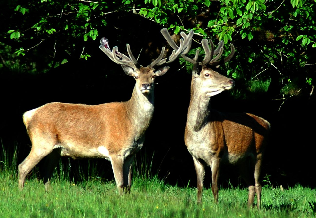 Red Stags in Killarney National Park County Kerry